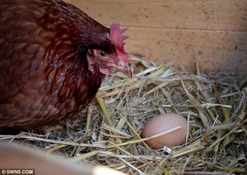 CHICKEN laying an EGG